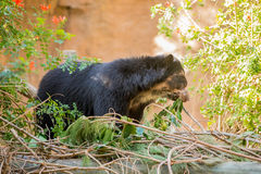 Bornean Sun Bear. A black Bornean Sun Bear Royalty Free Stock Photos