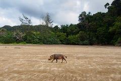 Bornean uppsökte svinet i den Bako nationalparken, Borneo, Malaysia Arkivfoton