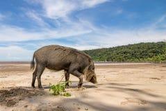 Bornean uppsökte svinsusen Barbatus på stranden Fotografering för Bildbyråer