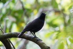 Bornean whistling thrush. On branch in Kinabalu Park Stock Image