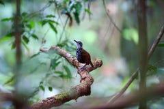 Bornean wren-babbler Royalty Free Stock Photos