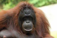 Borneanorangoetan (Pongo-pygmaeus) Stock Fotografie