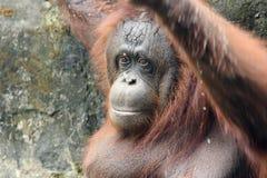 Borneanorangoetan (Pongo-pygmaeus) Stock Foto's