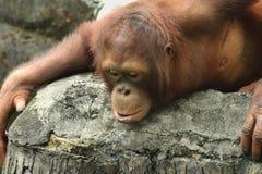 Borneanorangoetan (Pongo-pygmaeus) Royalty-vrije Stock Afbeelding