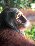 Borneo. Adult Orangutan. Borneo.. Big Adult Orangutan Yawning stock photo