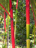 Borneo bambusowa naturalnej czerwony Obrazy Royalty Free