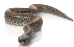 Borneo Black Blood Python Stock Images