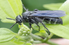 Borneo Black Wasp Stock Images