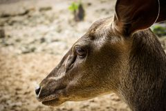 Borneo Deer Face. Face of a female deer or doe from borneo Stock Photo