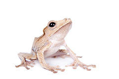 Borneo eared frog on white background Royalty Free Stock Images