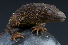 Borneo earless monitor / Lanthanotus borneensis Stock Photography