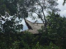 Borneo härmar att spela i en trädfrunch arkivbilder