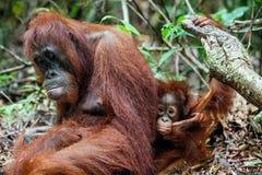 borneo lisiątka żeńskiego siedliska buziaków mum rodzimy orangutan deszczu drewno Bornean orangutan w dzikiej naturze (Pongo o py Zdjęcia Stock