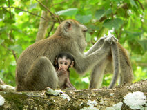Borneo. Long Tail Macaque. Borneo.. Long Tail Macaque with Baby stock photography