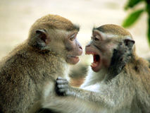 Borneo. LongTail Macaques. Borneo. Long-Tail Macaque Playfight royalty free stock images