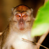 Borneo macaque looking into my eyes, not around my eyes, but int Royalty Free Stock Image