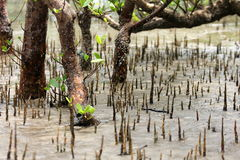 Borneo National Park Mangroves Stock Images