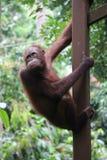 Borneo-Orang-Utan Lizenzfreie Stockfotografie