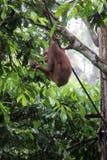 Borneo-Orang-Utan Lizenzfreies Stockbild