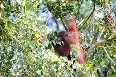 Borneo-Orang utan Stock Photo