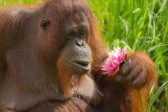Borneo Orang-utan (Pongo pygmaeus). In love with flower Royalty Free Stock Photo