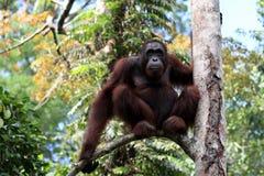 Borneo-Orang-Utan Pongo pygmaeus - Semenggoh Borneo Malaysia Asia royalty free stock photo