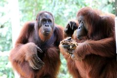 Borneo-Orang-Utan Pongo pygmaeus - Semenggoh Borneo Malaysia Asia stock photo
