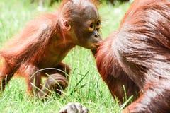 Borneo-Orang-Utans, Mutter und sein Babyspielen stockfotos