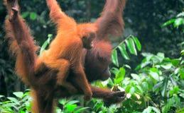 Borneo-Orang-Utans, Semenggoh, Sarawak, Malaysia Stockbild