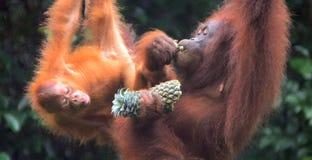 Borneo-Orang-Utans, Semenggoh, Sarawak, Malaysia Lizenzfreie Stockfotos