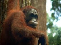 Borneo. Orangután que cuelga y que mira fijamente Imagenes de archivo