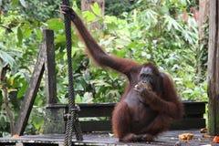 Borneo Orangutan feeding Stock Images