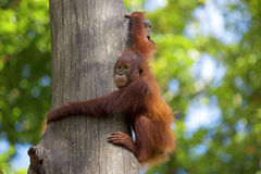 Borneo Orangutan Royalty Free Stock Photo