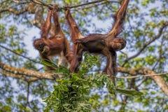 Borneo Orangutan Royalty Free Stock Image
