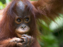 Borneo Orangutan. Orangutan in the jungle of Borneo, Malaysia Stock Images
