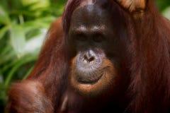 Borneo Orangutan Royalty Free Stock Photography