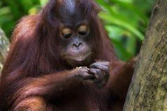 Borneo Orangutan Royalty Free Stock Photos