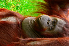 Borneo orangutan Stock Photos
