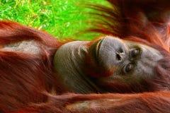 Borneo orangutan. Lies and chillin stock photos