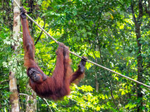 Borneo Orangutan at the Semenggoh Nature Reserve Near Kuching, M Stock Photo