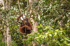 Borneo Orangutan Royalty Free Stock Photography