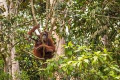 Borneo Orangutan. Wild orangutan captured in Sarawak, Borneo Malaysia royalty free stock photography