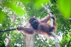 Borneo orangutang Fotografering för Bildbyråer