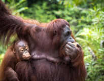 Borneo orangutangfamilj Arkivbild