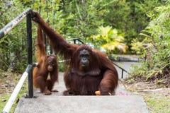 Borneo orangutangfamilj Arkivbilder