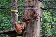 Borneo orangutangfamilj på Sepilok Fotografering för Bildbyråer