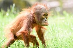 Borneo orangutans, mother and his baby playing. Borneo orangutans playing on the ground together and having a blast time in the sun. so lovly togehter the royalty free stock photos