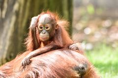 Borneo orangutans, mother and his baby playing. Borneo orangutans playing on the ground together and having a blast time in the sun. so lovly togehter the royalty free stock image