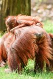 Borneo orangutans, mother and his baby playing. Borneo orangutans playing on the ground together and having a blast time in the sun. so lovly togehter the royalty free stock photography