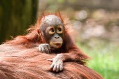 Borneo orangutans, mother and his baby playing. Borneo orangutans playing on the ground together and having a blast time in the sun. so lovly togehter the stock photos